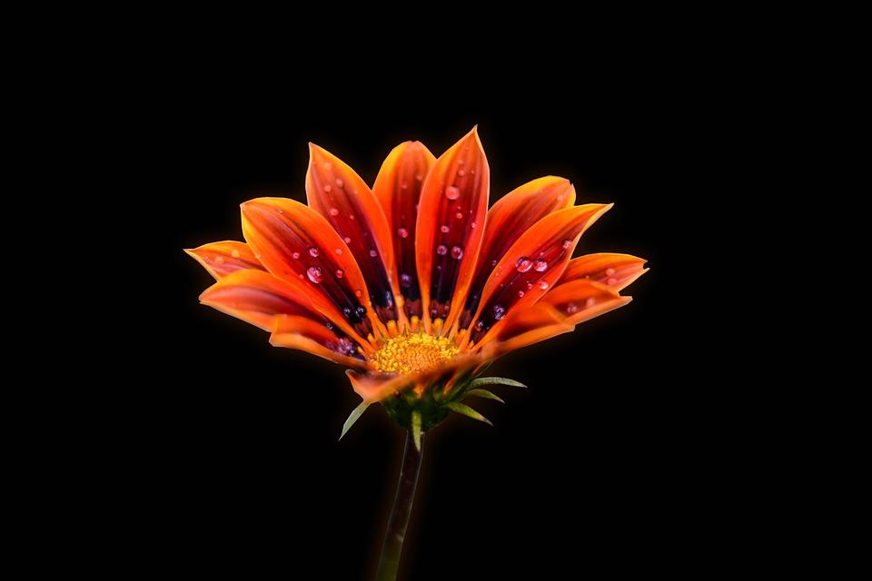 Flower Gérbel, Pretty Flower, Gérbela, Nature