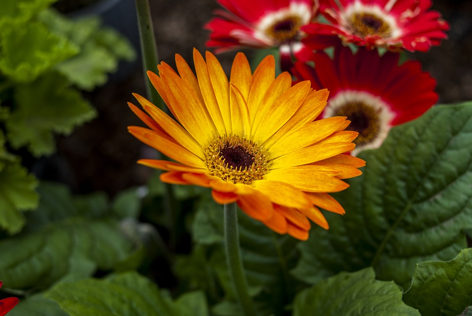 Gérbela Yellow, Nature, Plant, Flower, Leaf
