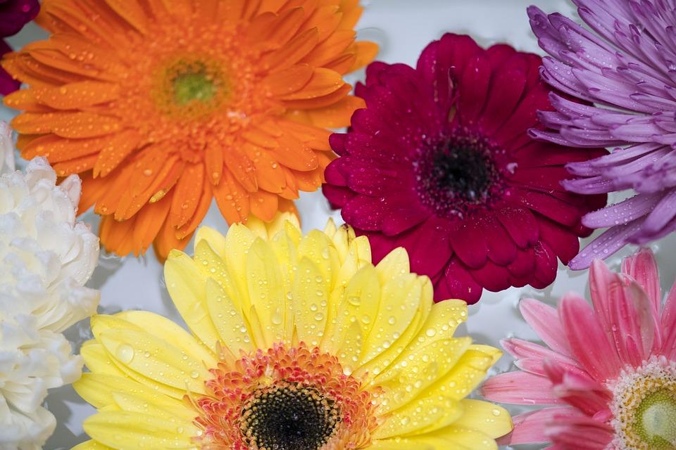 Flower, Flora, Floral, Petal, Gerbera, African Daisy