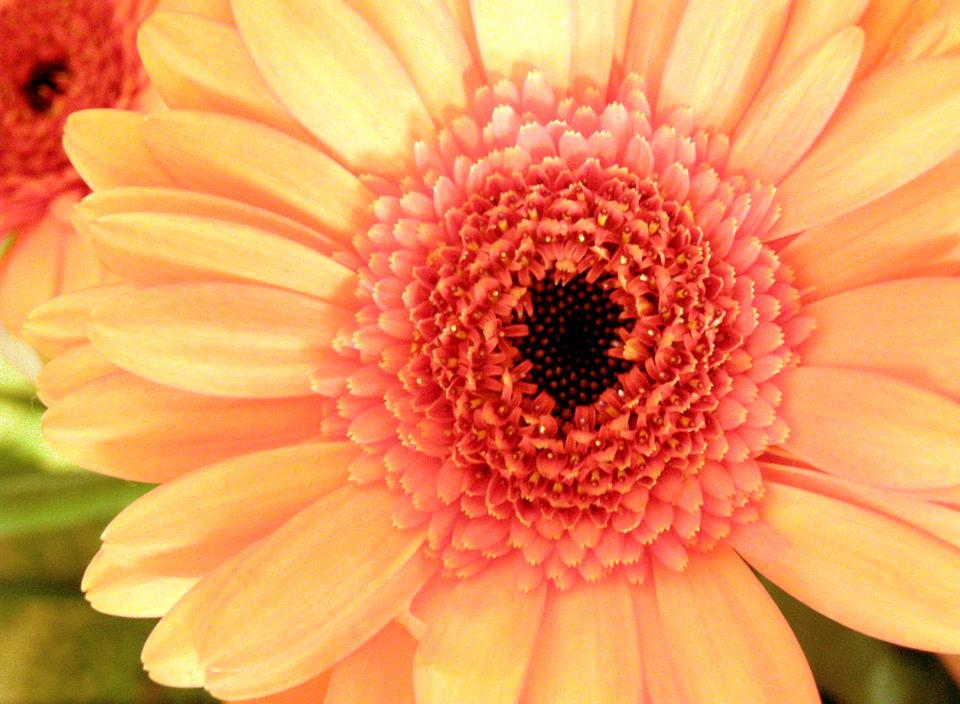 Blossom, Bloom, Orange, Red, Flower, Macro, Gerbera