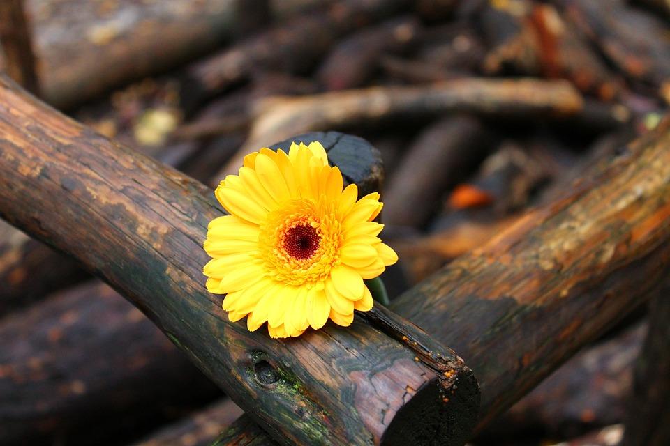 Gerbera, Yellow, Wood, Flower, Blossom, Bloom