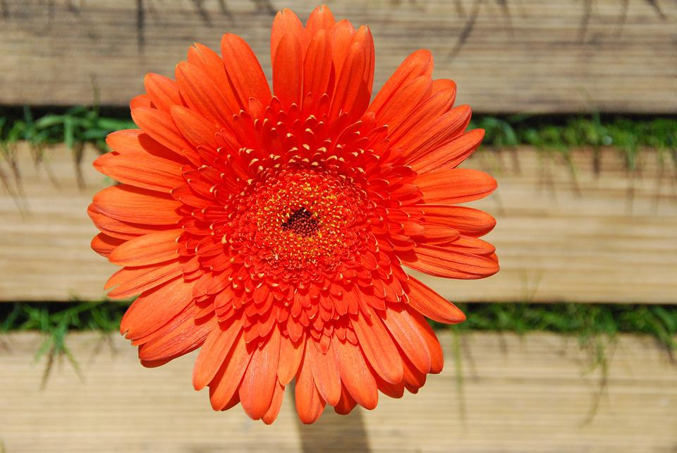 Gerbera, Orange, Blossom, Bloom, Close, Schnittblume