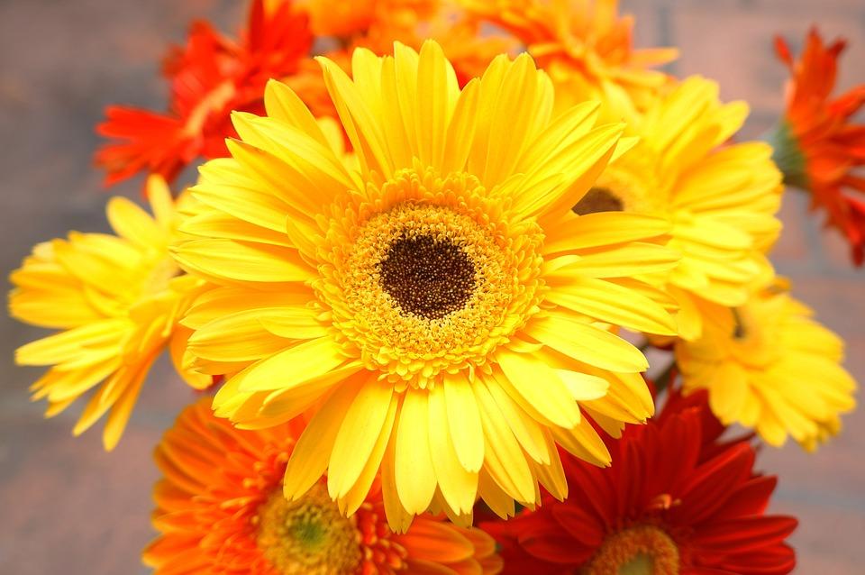 Chrysanthemum, Yellow Daisies, Gerbera Daisies
