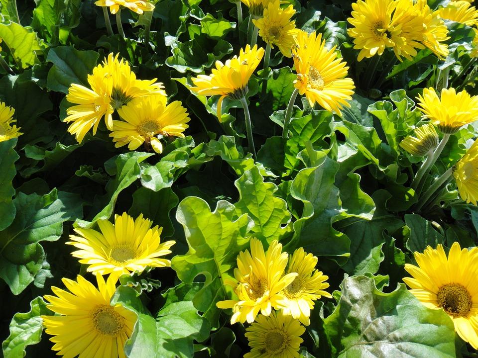 Gerbera, Daisy, Flowers