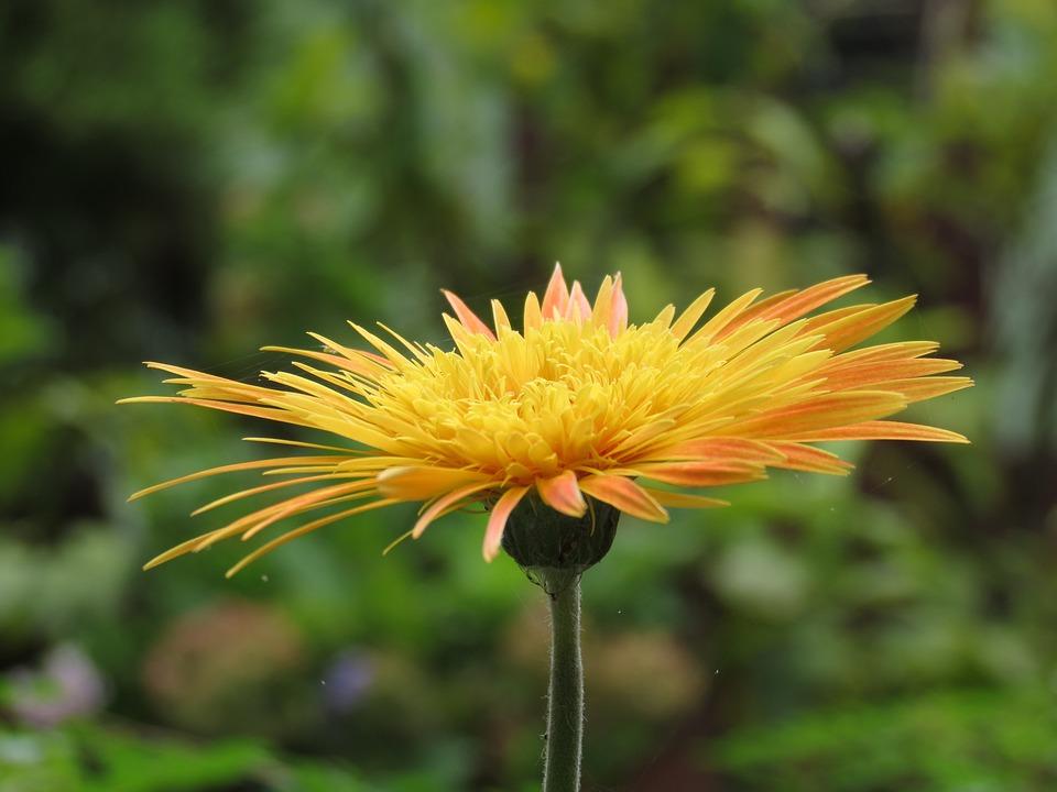 Flower, Gerbera, Nature