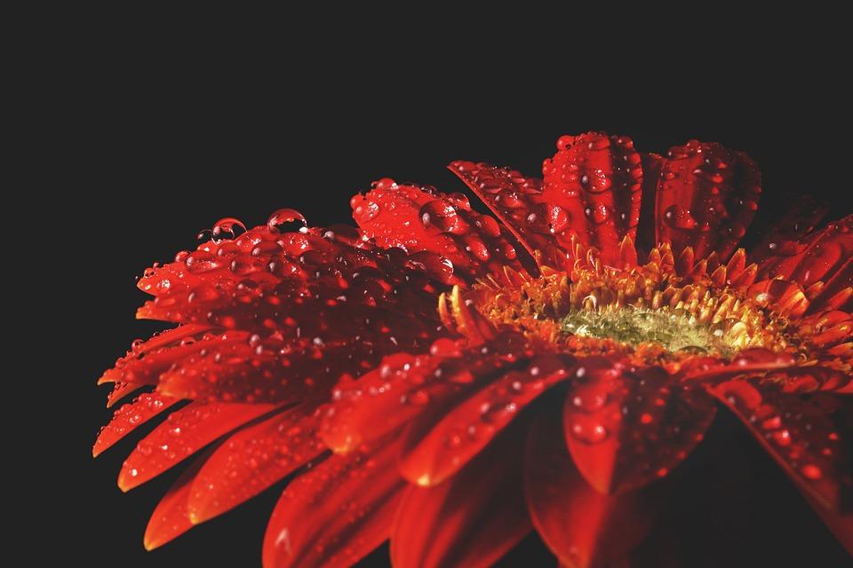 Red Gerbera, Gerbera, Red, Flower, Plant, Blossom