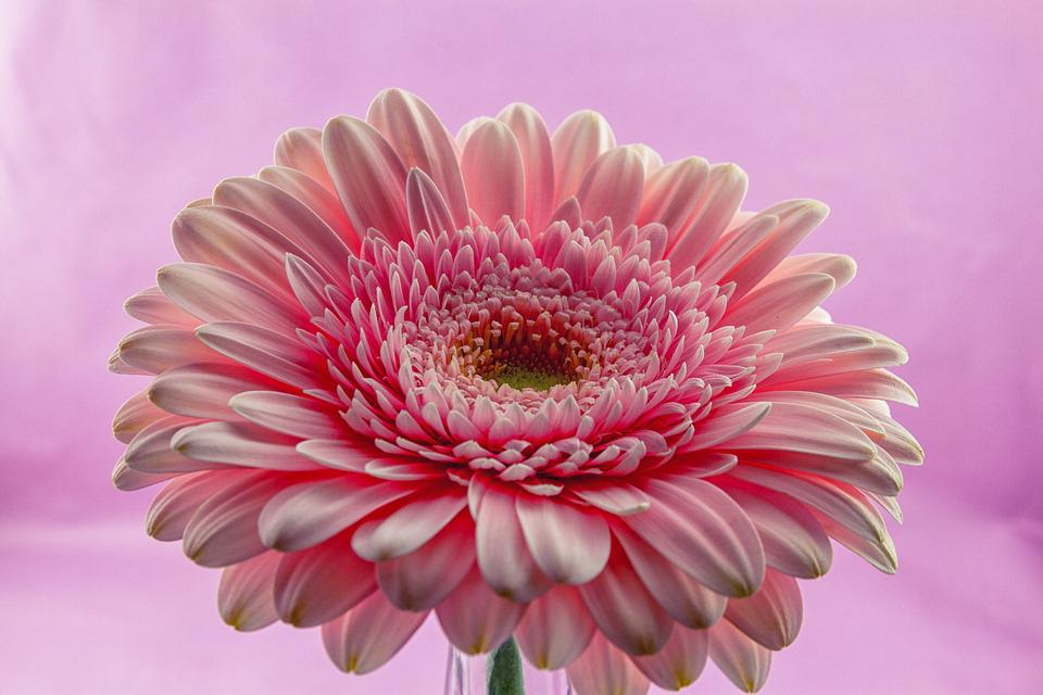 Flower, Gerbera, Plant, Nature, Flowers, Bright