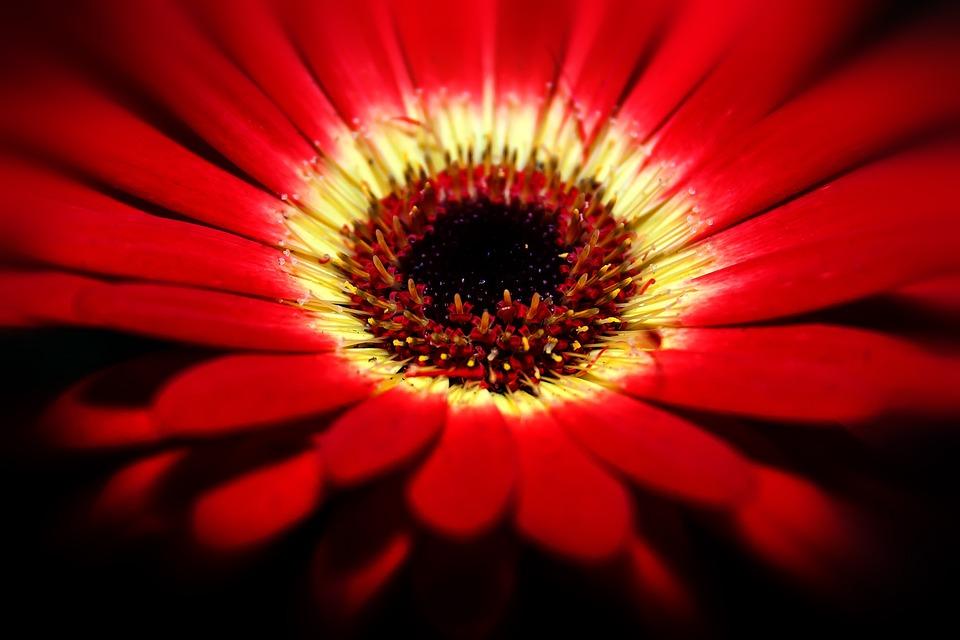 Gerbera, Blossom, Bloom, Macro, Fragrance, Romantic