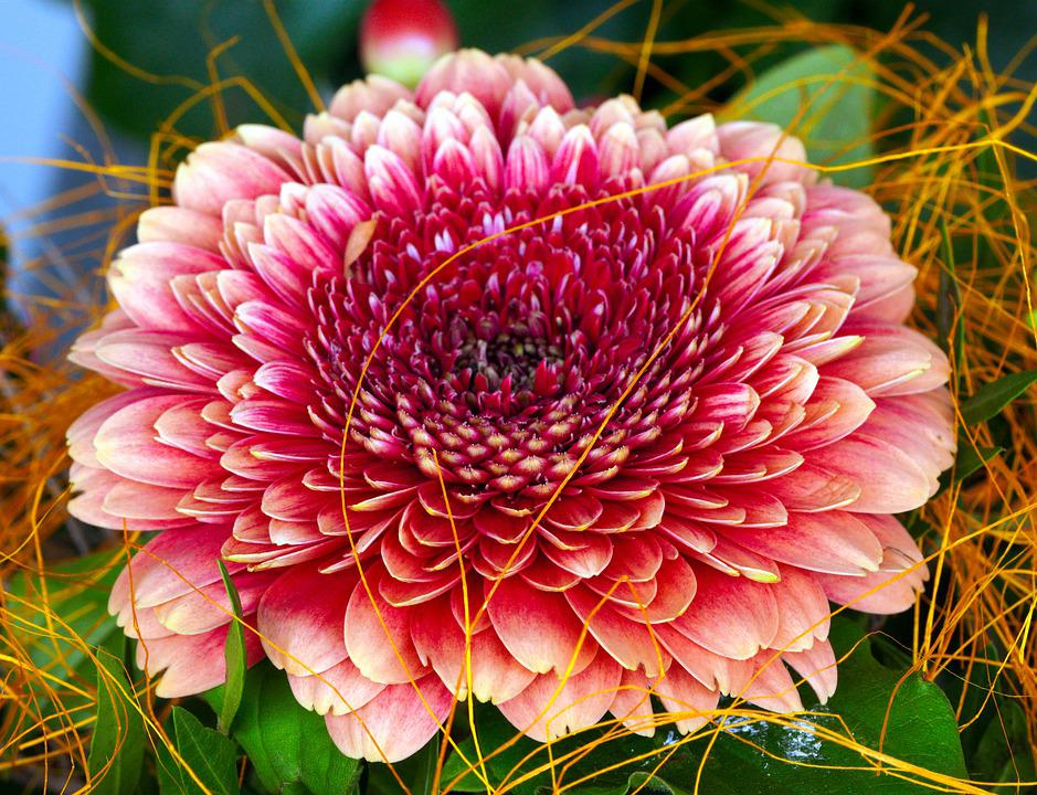 Flower, Gerbera, Blossom, Bloom, Nature, Flora