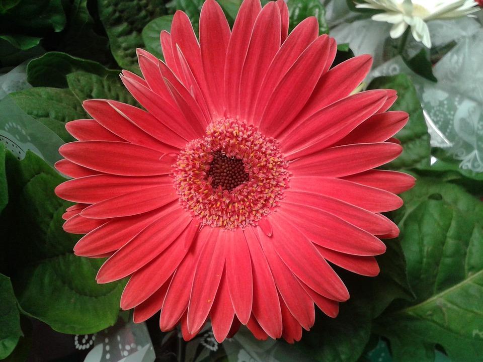 Gerbera Daisy, Flower, Nature, Flowers, Gerbera, Plant