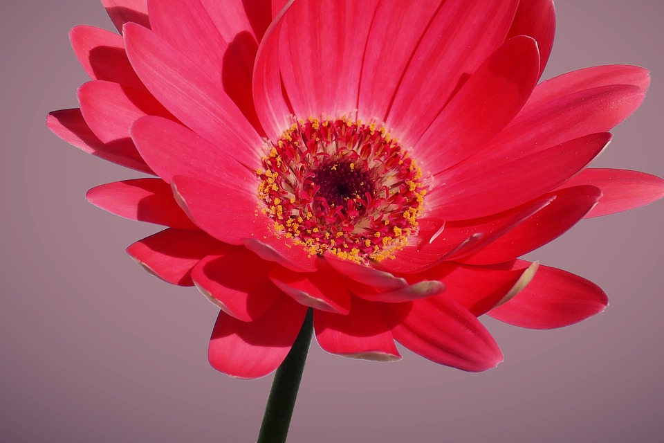 Gerbera, Flower, Pink, Plant