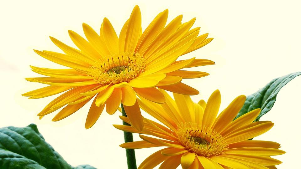 Gerbera, Frühlingsanfang, Yellow Flower, Spring Flower
