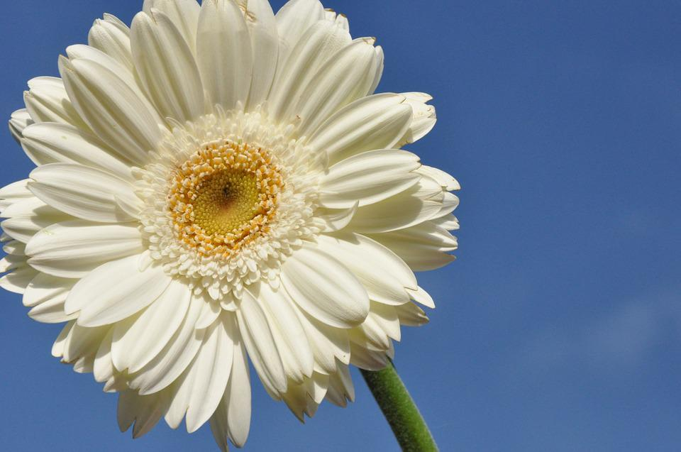 Gerbera, Flower, White, Nature, Bloom, Plant, Summer