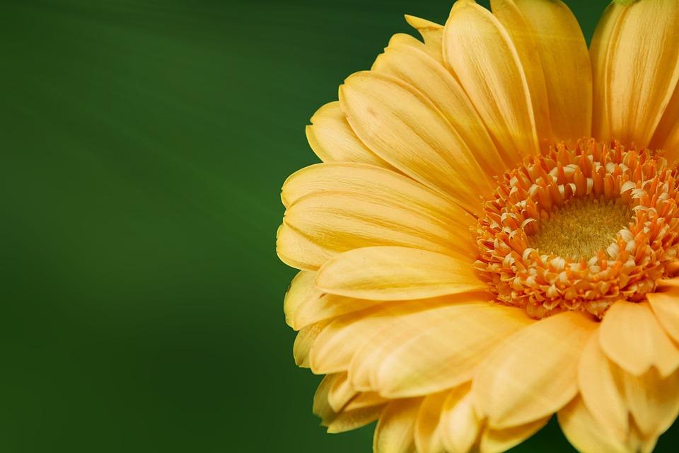 Gerbera, Flower, Nature, Yellow Flower, Plant, Bloom