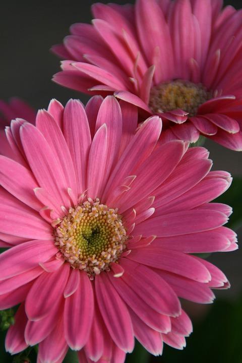 Gerbera Daisy, Pink, Daisy, Flower, Blossom, Gerberas