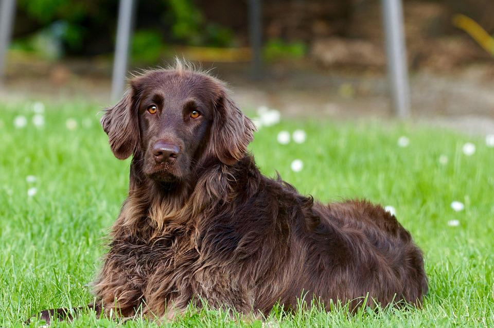 Dog, Animal, Pet, German Longhaired Pointer, View, Eyes