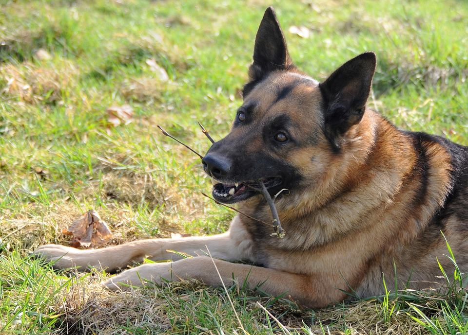 Dog, German Shepherd, Animal, Branch