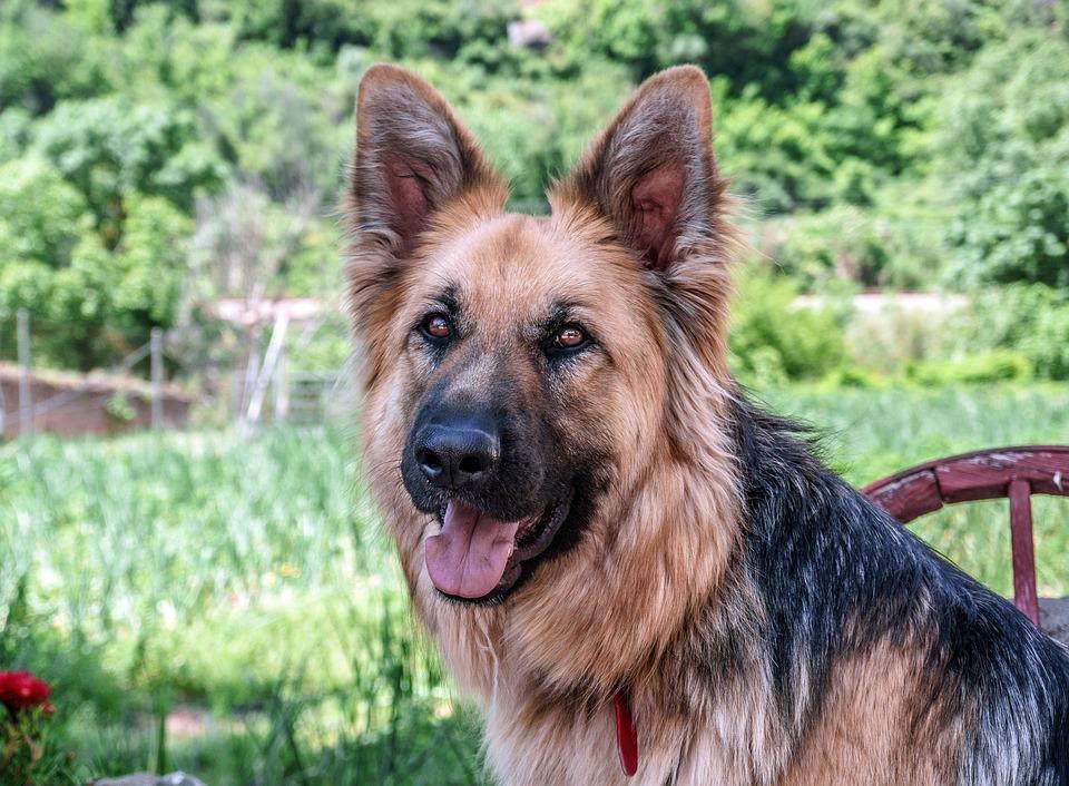 Dog, Dog Wolf, Animal, Pet, Look, German Shepherd Dog