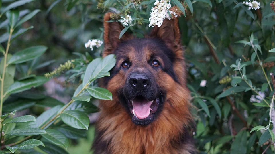 German Shepherd, Dog, Animal, Loyal Friend, Wet Nose