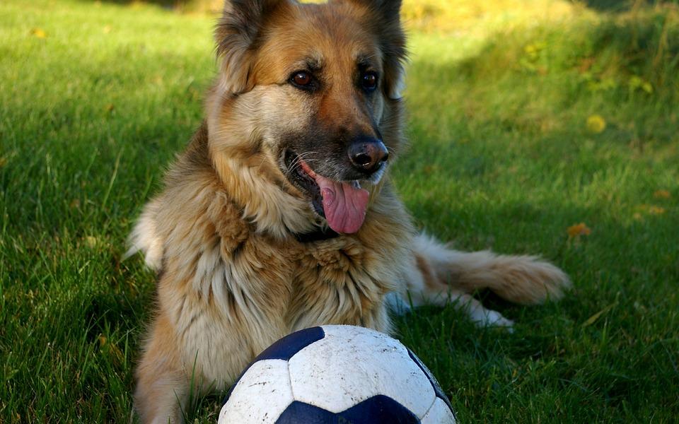 German Shepherd, Play, Dog, Pets, Ball