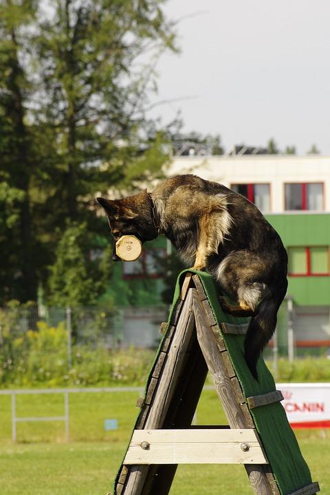 Pet, Dog, German Shepherd, Sport, Jump, Animal