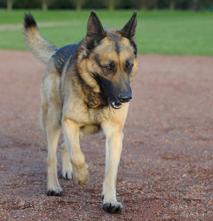 Dog, German Shepherd, Animal, Walk