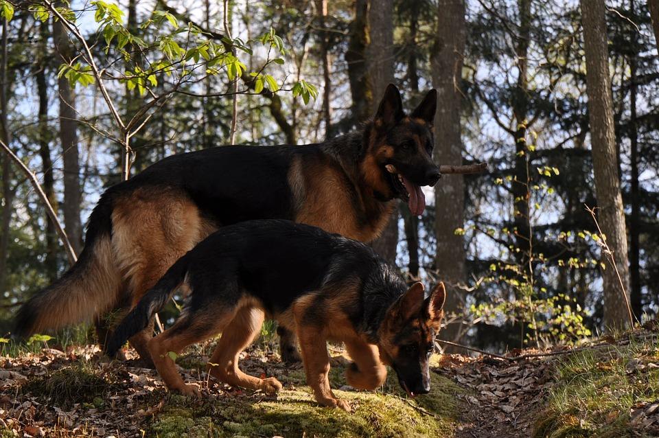 German Shepherd, Forest, Dog