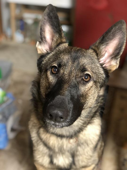 German Shepherd, Dog, Pet, Nature, Canine, Eyes