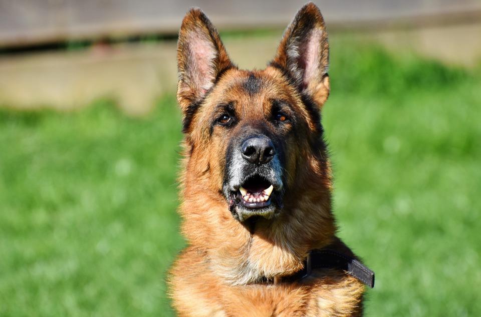 Schäfer Dog, German Shepherd, Old German Shepherd Dog