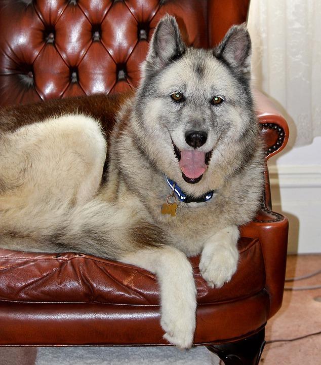 Dog, German Shepherd, Husky, City, Spoilt, Happy