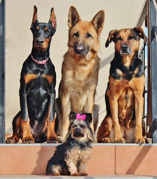 Dogs, Doberman, Yorkie, German Shepherd