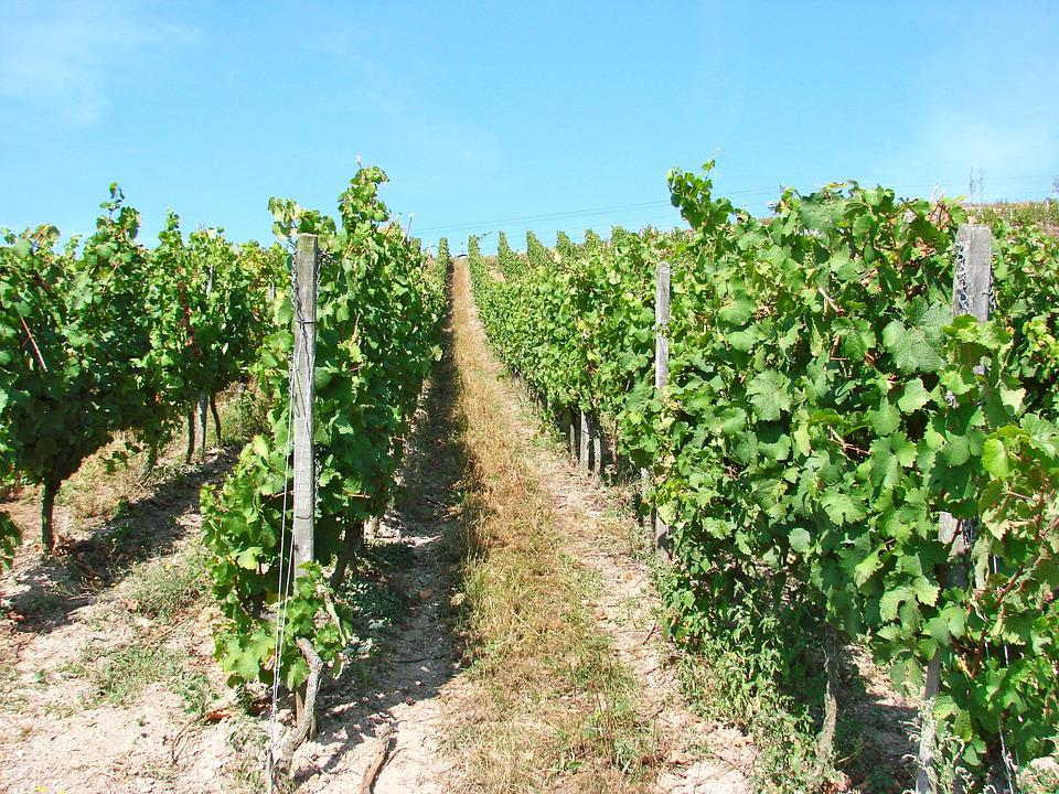 Vineyards, Germany, Rhine, Rudesheim, Vine, Europe