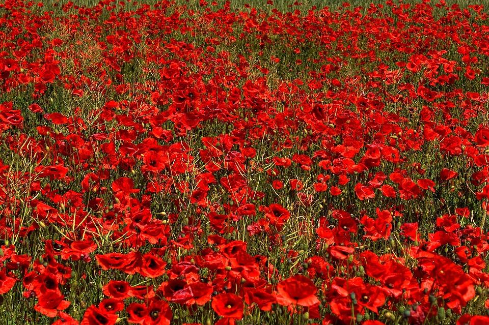 Poppy, Brandenburg, Flower, Germany, Wildflowers