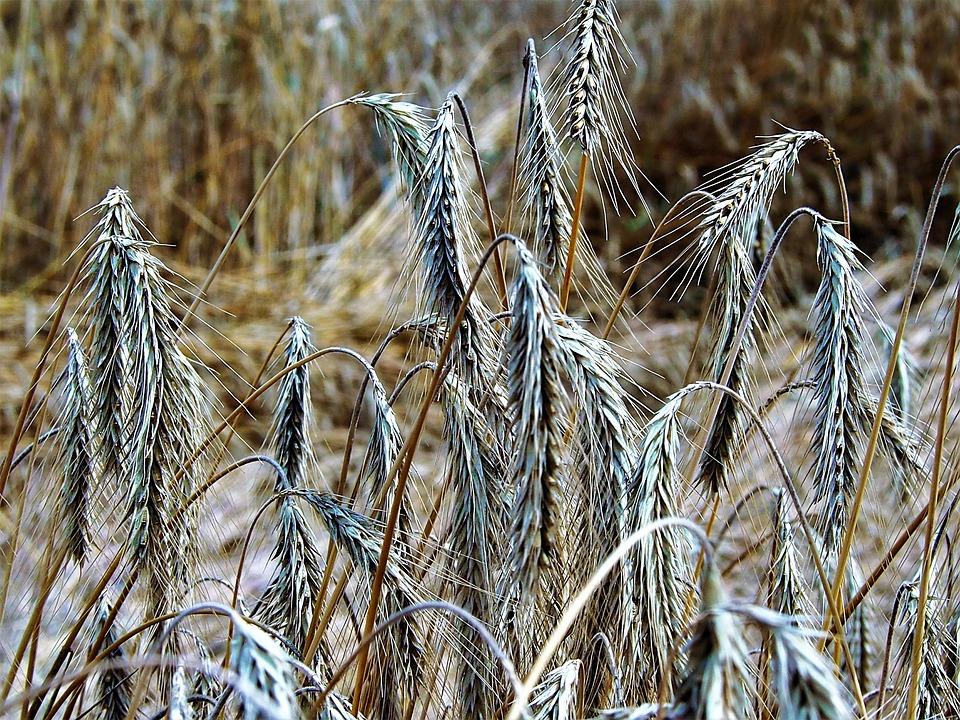 Getreide, Thanksgiving, ähre, Summer