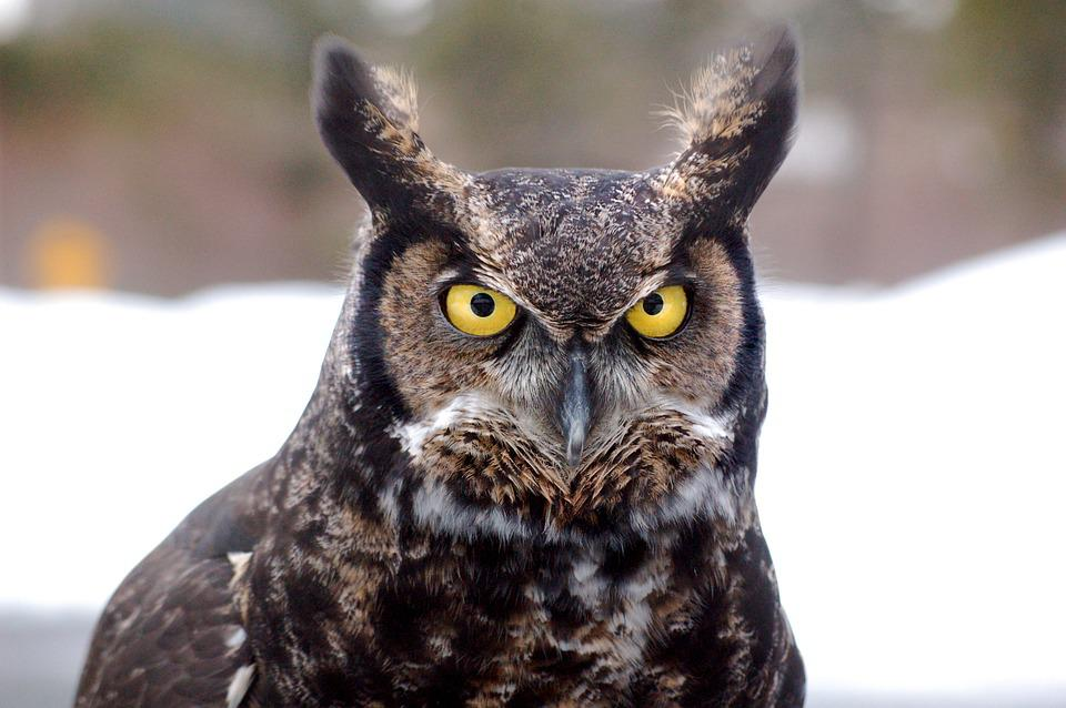 Great Horned Owl, Bird, Owl, Northern, Alaska, Ghow