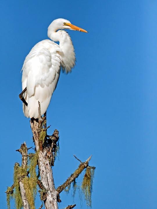 Giant Egret, Bird, Wildlife, Perch, Sky, Close-up