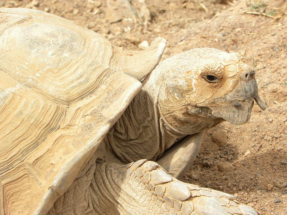 Turtle, Beige, Giant, Animal, Fauna, Giant Turtles