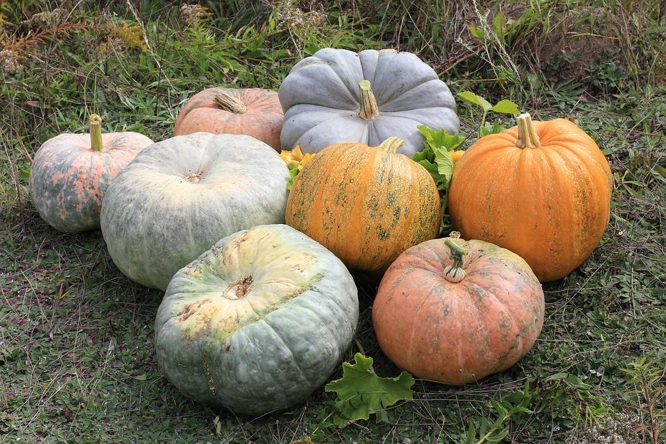Giant Kürbise, Pumpkins, Gartenkuerbise