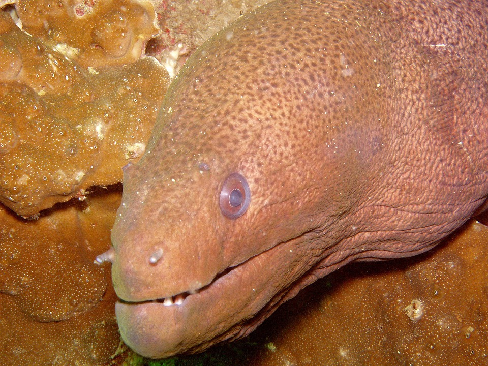 Diving, Moray, Giant Moray, Under, Water, Southeast