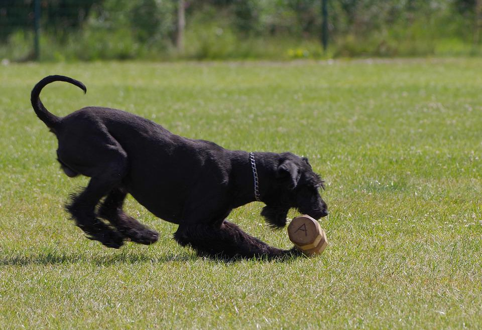 Dumbbell Retrieve, Giant Schnauzer, Competition, Dog