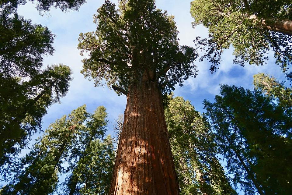 Sequoia, Giant Sequoia, Sequoia National Park, Giant