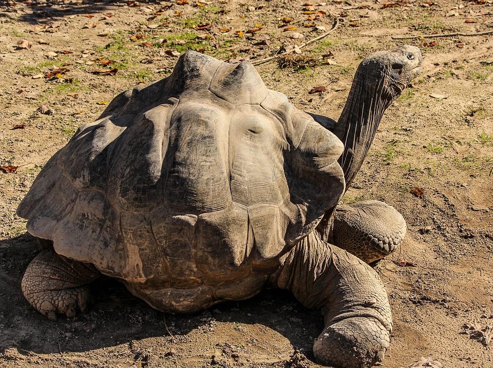 Galapogas Tortoise, Turtle, Tortoise, Giant Tortoise