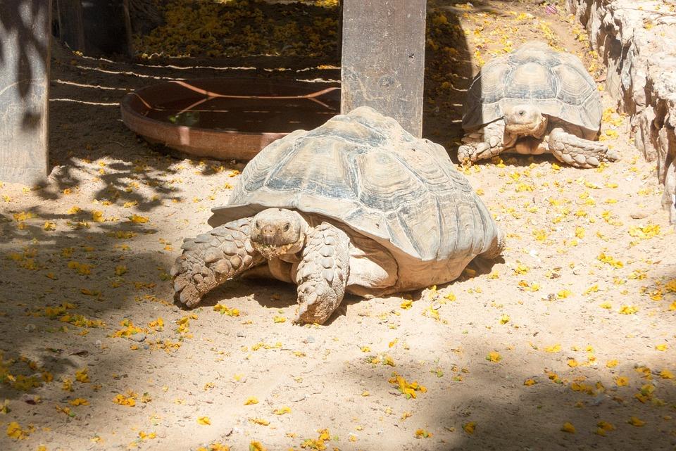 Turtle, Zoo, Giant Tortoise