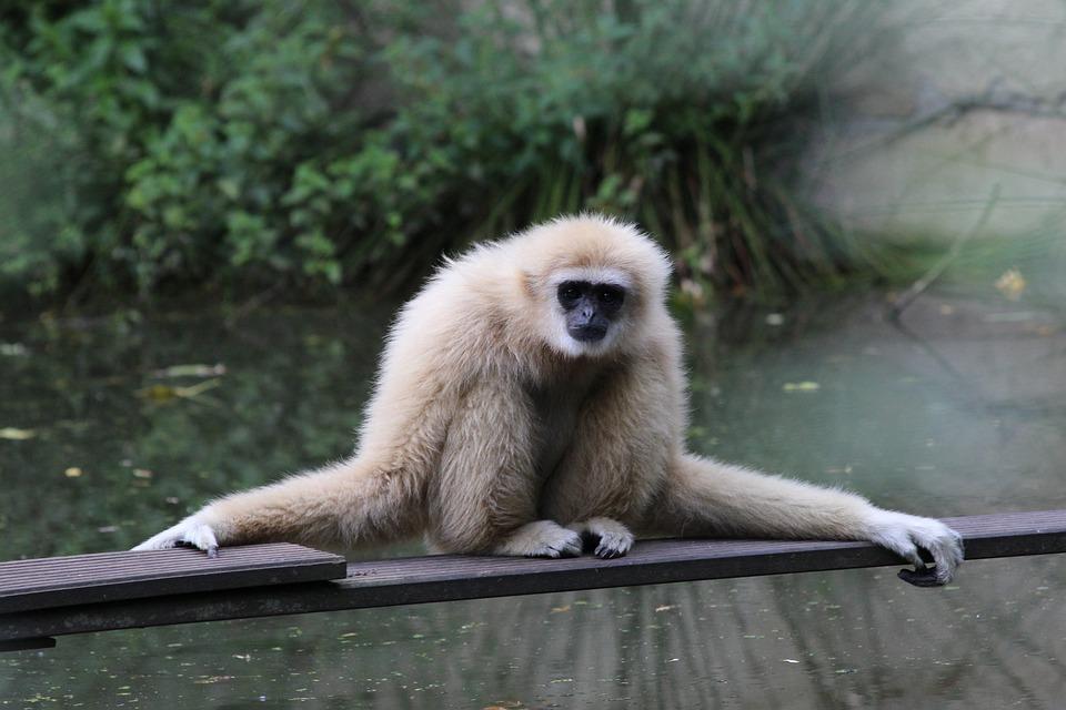 Gibbon, Mammal, Zoo