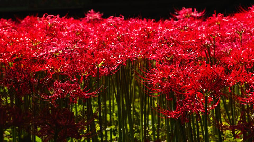 Flowers For, Lycoris Squamigera, Red Flower, Gilsang