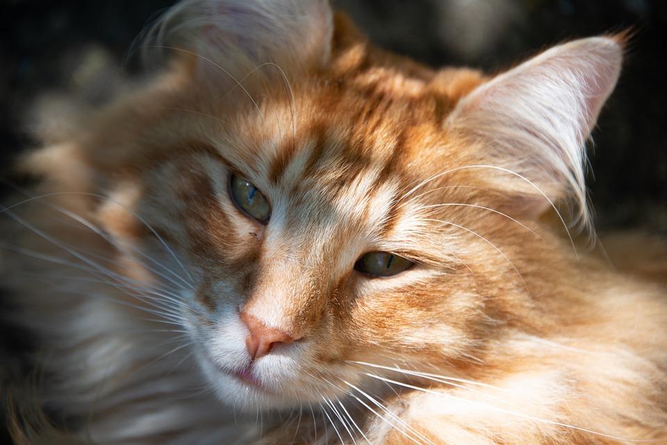 Cat, Norwegian, Forest, Ginger, Face, Fur, Head, Fluffy