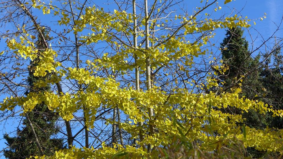Gingko, Deciduous Tree, Conifers, Autumn, Fall Color