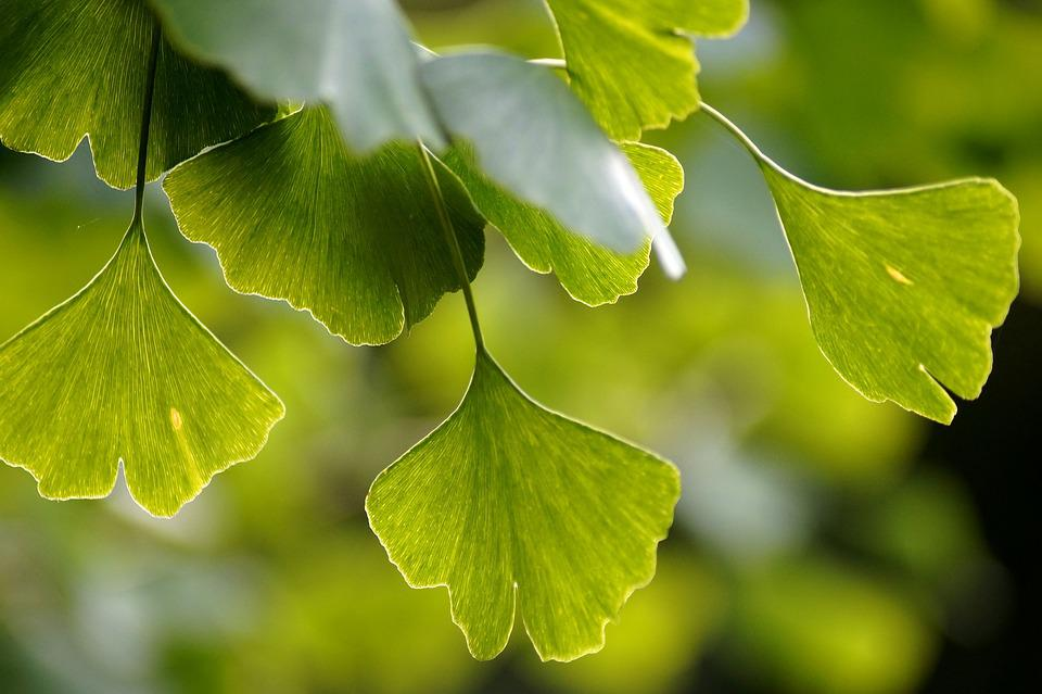 Ginkgo, Gingko, Biloba, Leaves, Green, Leaf, Branch