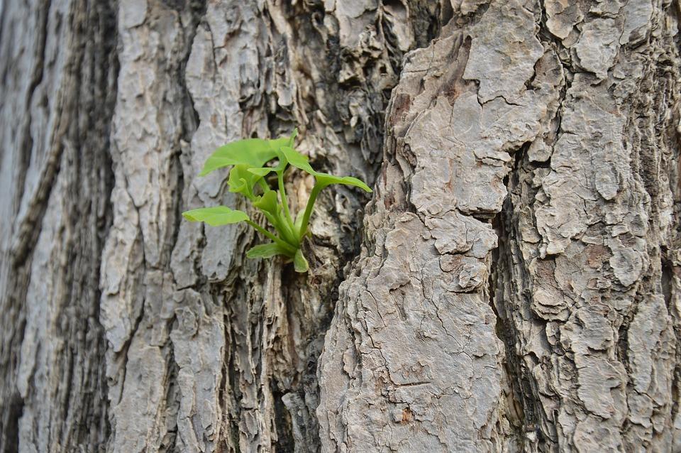 Gingko, Bark, New Leaves, Buds, Tree, Organic