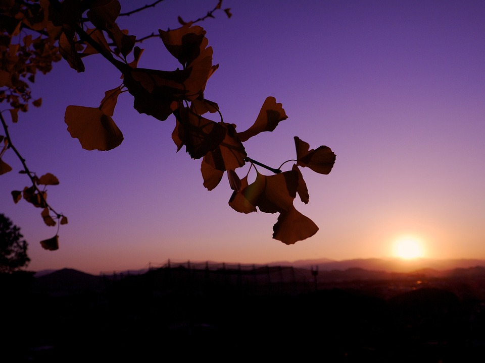 Gingko Tree, Sunset, Sky, Light